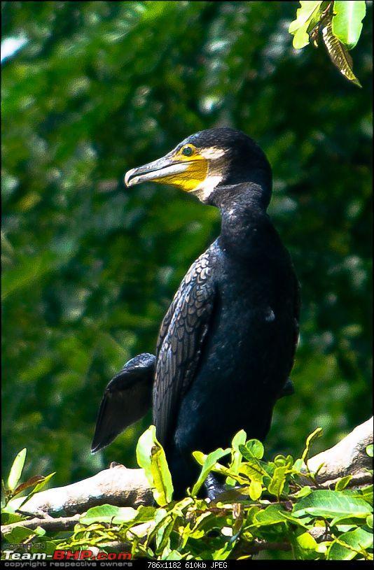 Weekend Trip to Ranganthittu, Mysore, Masinagudi & Shivanasamudra-black-cormorant.jpg