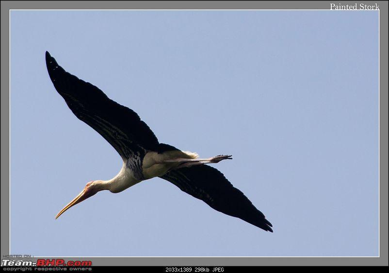 Weekend Trip to Ranganthittu, Mysore, Masinagudi & Shivanasamudra-flying-stork-flight.jpg