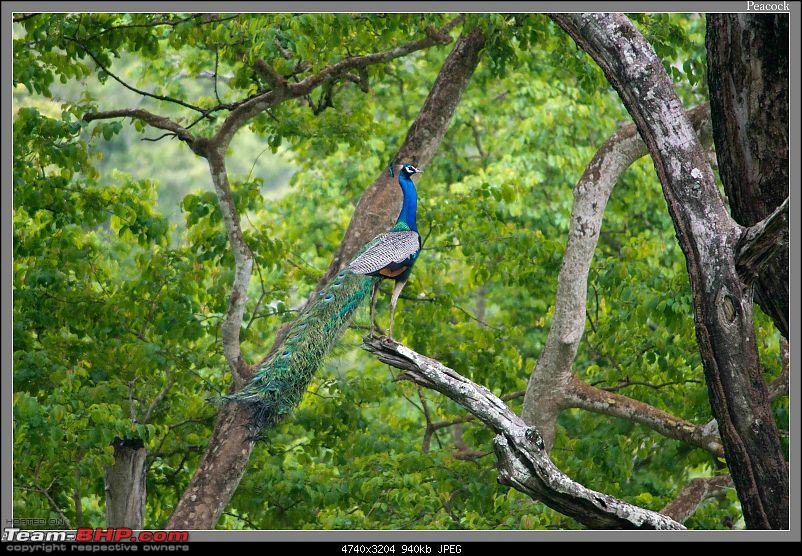 Weekend Trip to Ranganthittu, Mysore, Masinagudi & Shivanasamudra-peacock-branch-001.jpg
