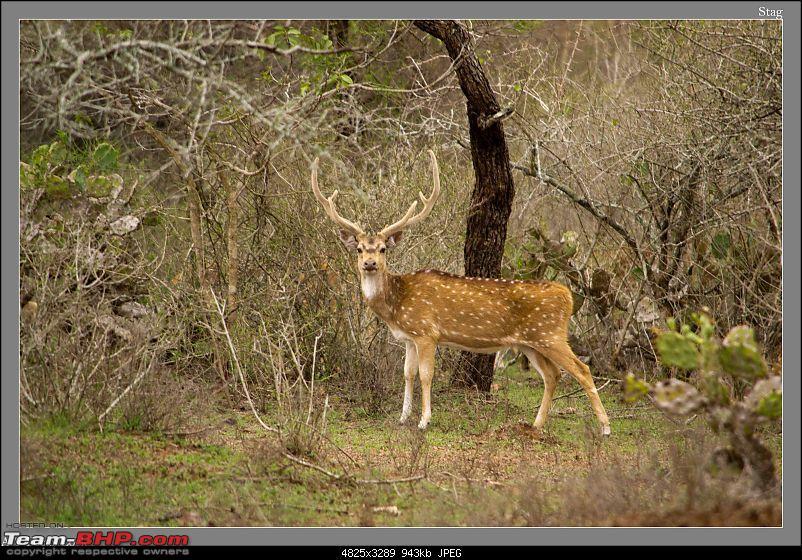 Weekend Trip to Ranganthittu, Mysore, Masinagudi & Shivanasamudra-lone-stag.jpg