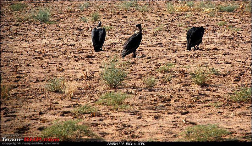 Gurgaon - Jaisalmer - Jodhpur - Bikaner - Gurgaon-vultures1.jpg