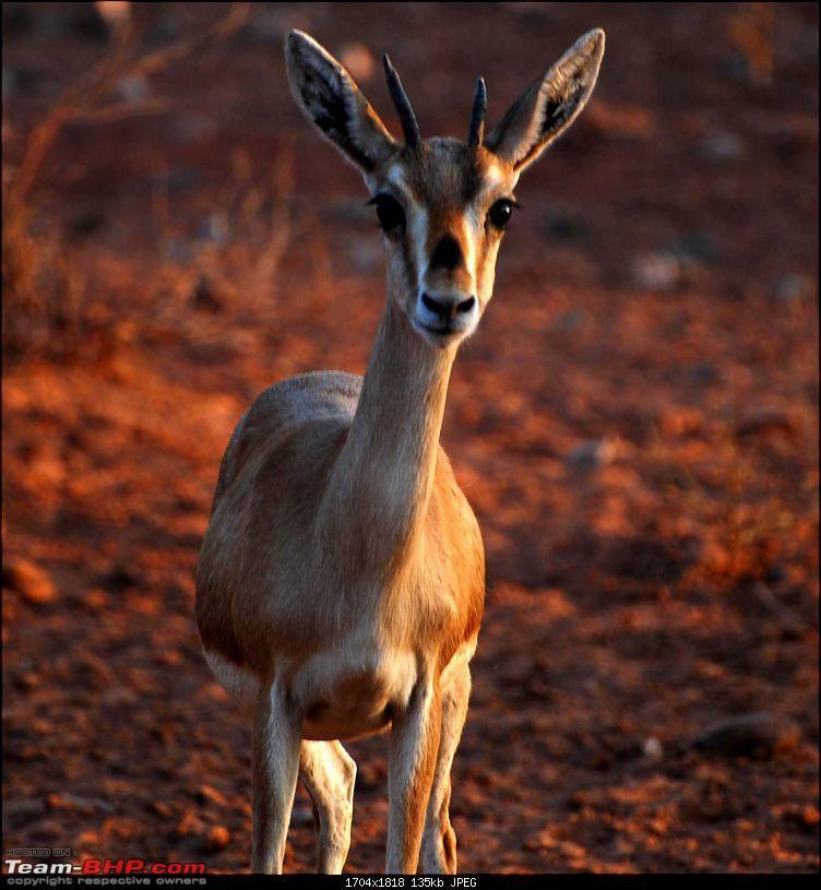 Gurgaon - Jaisalmer - Jodhpur - Bikaner - Gurgaon-deer4.jpg