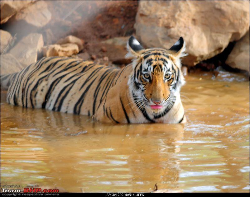 Gurgaon - Ranthambhore - Jodhpur - Gurgaon: Big Cats call again..!-6584.jpg