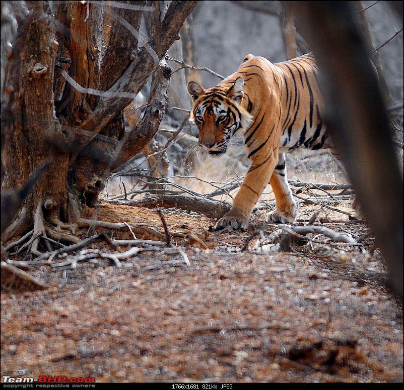 Gurgaon - Ranthambhore - Jodhpur - Gurgaon: Big Cats call again..!-6897.jpg