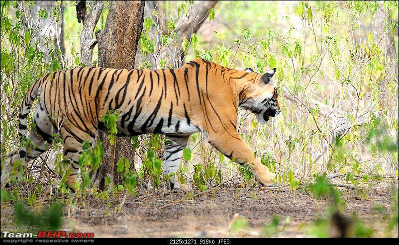 Gurgaon - Ranthambhore - Jodhpur - Gurgaon: Big Cats call again..!-6934.jpg