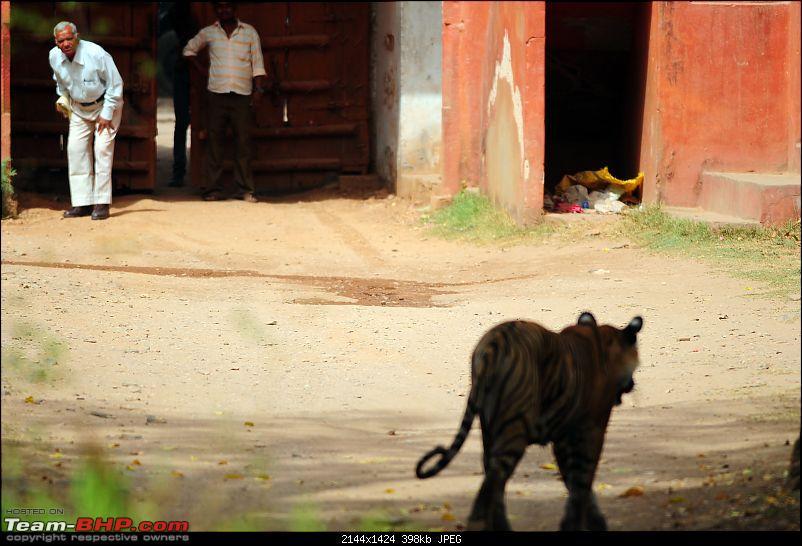 Gurgaon - Ranthambhore - Jodhpur - Gurgaon: Big Cats call again..!-6952.jpg