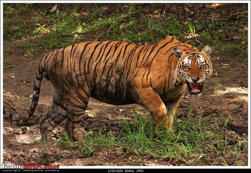 Face to face with an angry tiger-img_8455a-web.jpg