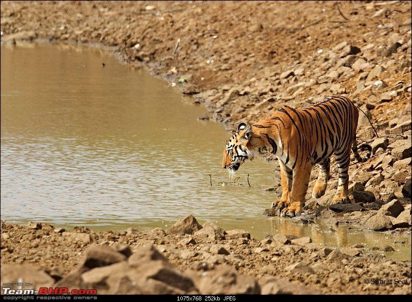 Beginning of a Brand New Season at Tadoba Andhari Tiger Reserve with Grand Sightings-panderpauni-cub-copy.jpg