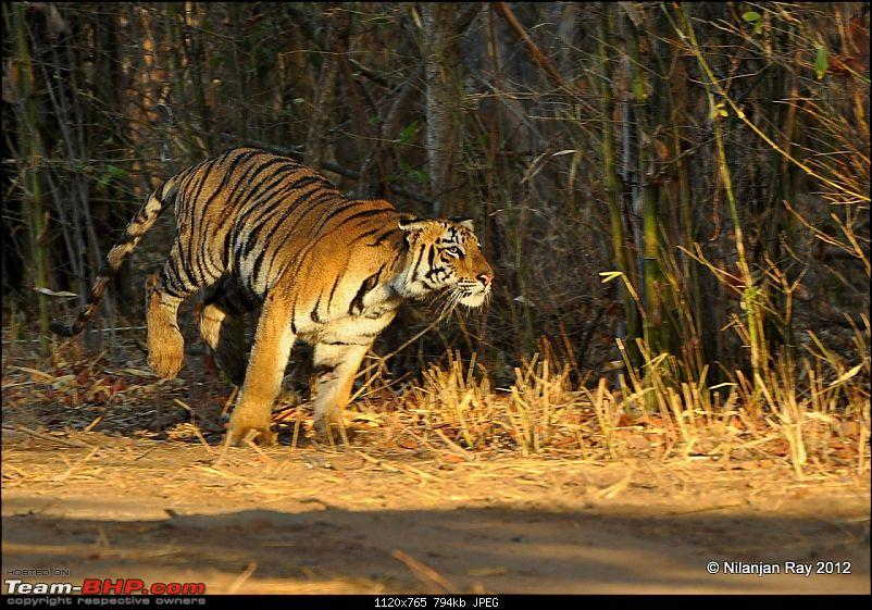 Tadoba: 14 Tigers and a Bison-dsc_4661.jpg