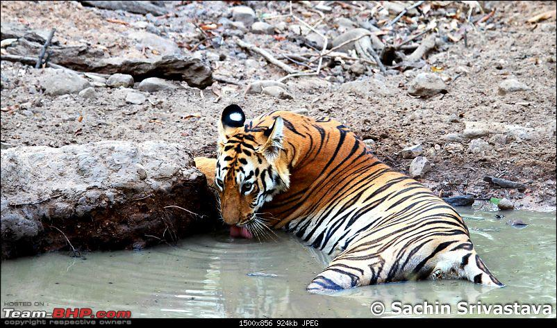 Crouching Tiger, Unaware prey - Hunt and Kill: TATR - Awesome, Incredible, Amazing!!-img_4790.jpg