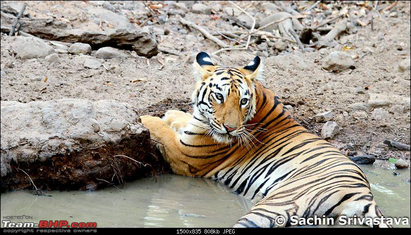 Crouching Tiger, Unaware prey - Hunt and Kill: TATR - Awesome, Incredible, Amazing!!-img_4795.jpg