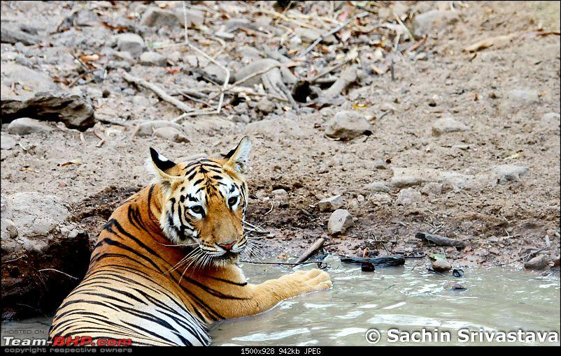Crouching Tiger, Unaware prey - Hunt and Kill: TATR - Awesome, Incredible, Amazing!!-img_4866.jpg