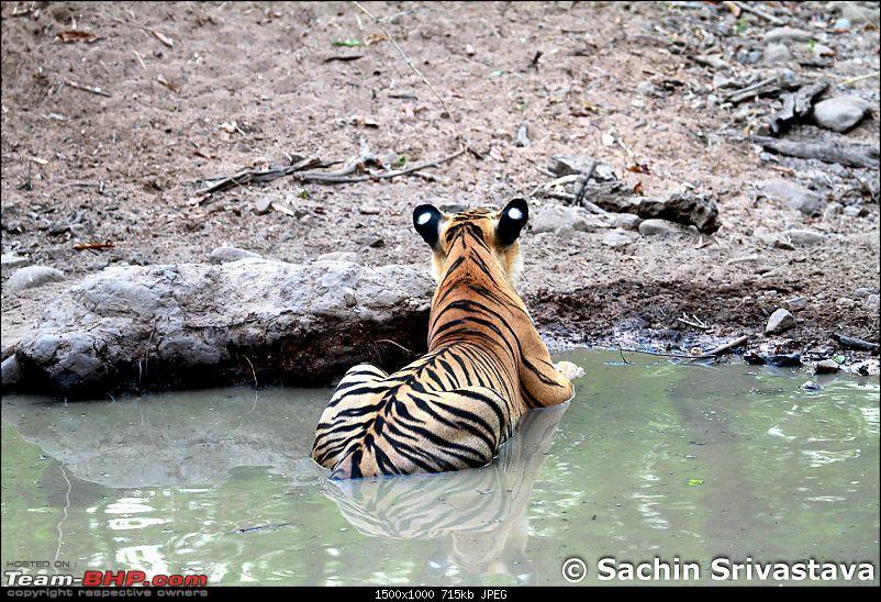 Crouching Tiger, Unaware prey - Hunt and Kill: TATR - Awesome, Incredible, Amazing!!-img_4955.jpg