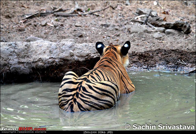 Crouching Tiger, Unaware prey - Hunt and Kill: TATR - Awesome, Incredible, Amazing!!-img_4964.jpg
