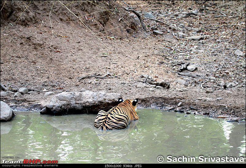 Crouching Tiger, Unaware prey - Hunt and Kill: TATR - Awesome, Incredible, Amazing!!-img_4984.jpg
