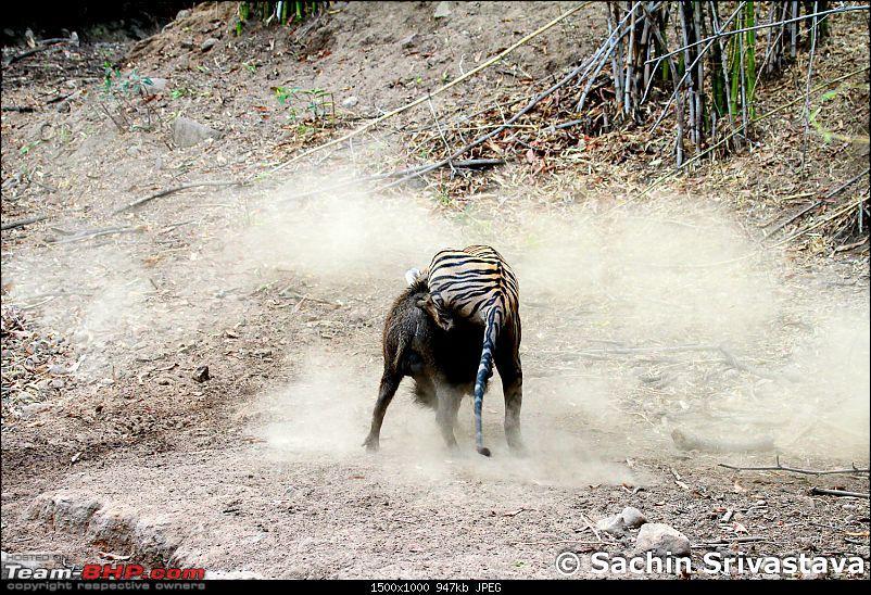 Crouching Tiger, Unaware prey - Hunt and Kill: TATR - Awesome, Incredible, Amazing!!-img_4990.jpg