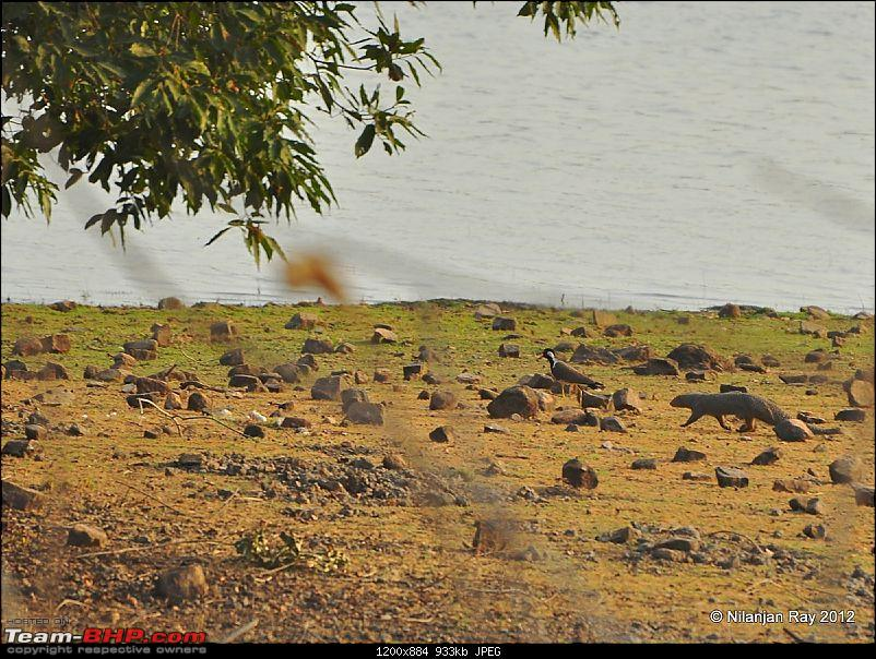 Tadoba: 14 Tigers and a Bison-dsc_5155.jpg