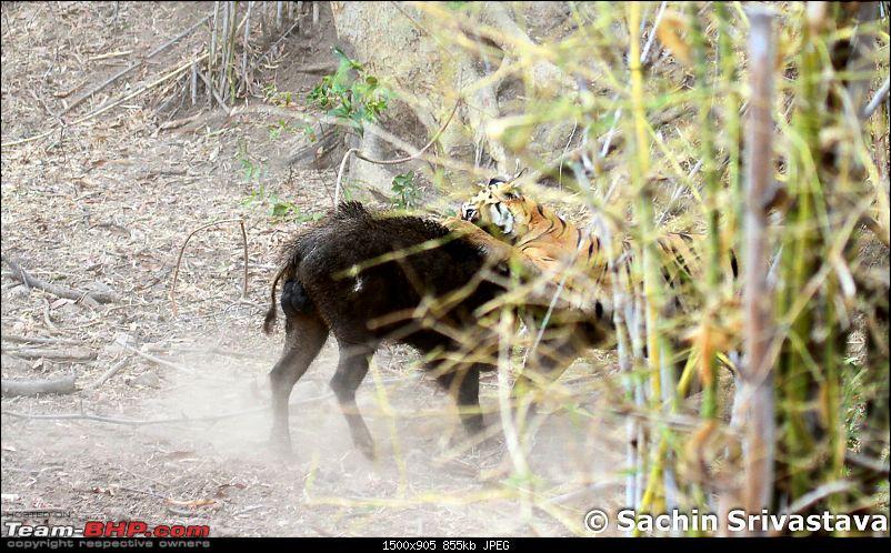 Crouching Tiger, Unaware prey - Hunt and Kill: TATR - Awesome, Incredible, Amazing!!-img_5037.jpg