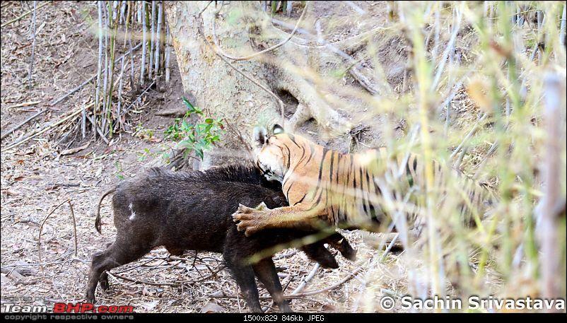 Crouching Tiger, Unaware prey - Hunt and Kill: TATR - Awesome, Incredible, Amazing!!-img_5064.jpg