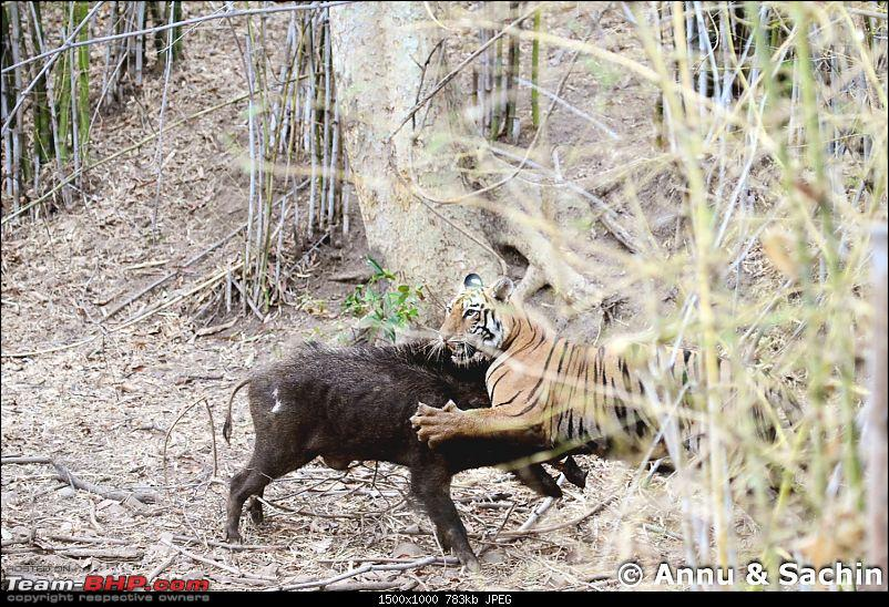 Crouching Tiger, Unaware prey - Hunt and Kill: TATR - Awesome, Incredible, Amazing!!-img_5079_1.jpg