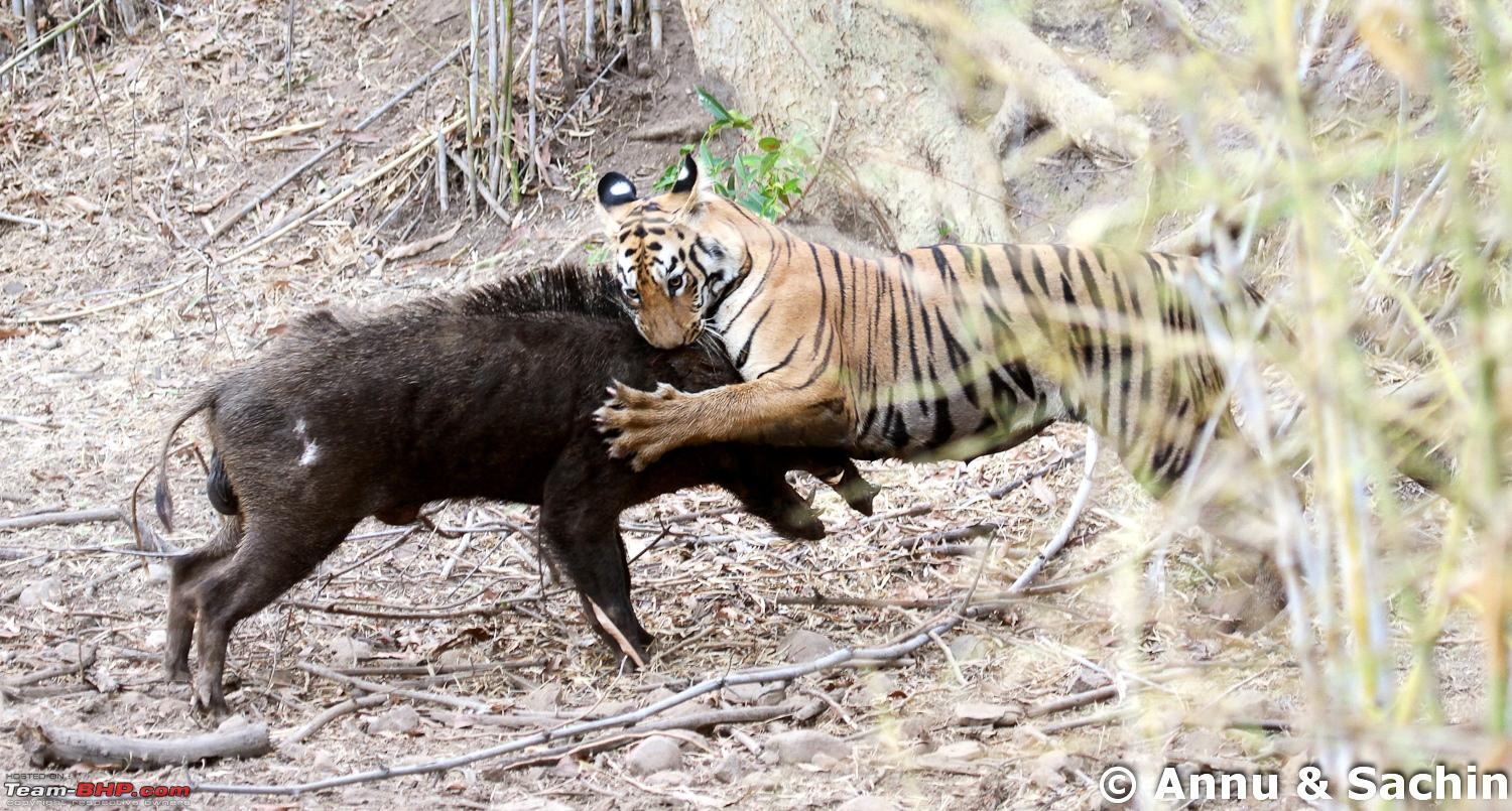 Tiger hunting images