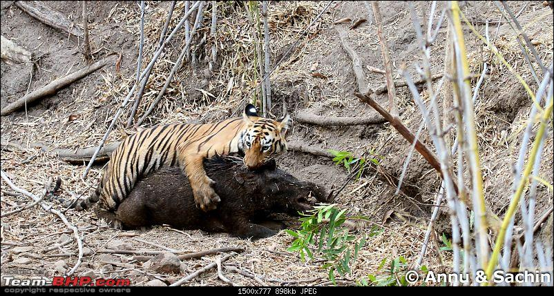 Crouching Tiger, Unaware prey - Hunt and Kill: TATR - Awesome, Incredible, Amazing!!-img_5263_1.jpg