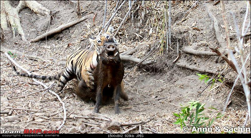Crouching Tiger, Unaware prey - Hunt and Kill: TATR - Awesome, Incredible, Amazing!!-img_5276_1.jpg