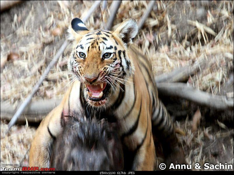Crouching Tiger, Unaware prey - Hunt and Kill: TATR - Awesome, Incredible, Amazing!!-img_5307_1.jpg