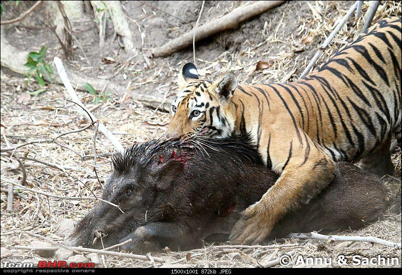 Crouching Tiger, Unaware prey - Hunt and Kill: TATR - Awesome, Incredible, Amazing!!-img_5317_1.jpg