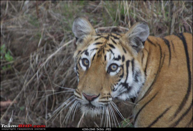 Hello Tiger – Our trip to Tadoba-tiger-1-05.jpg