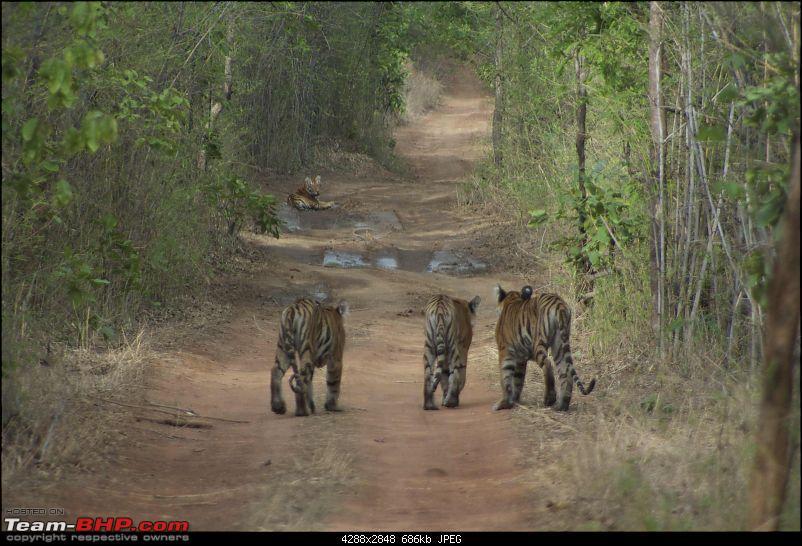 Hello Tiger – Our trip to Tadoba-tiger-2-12.jpg