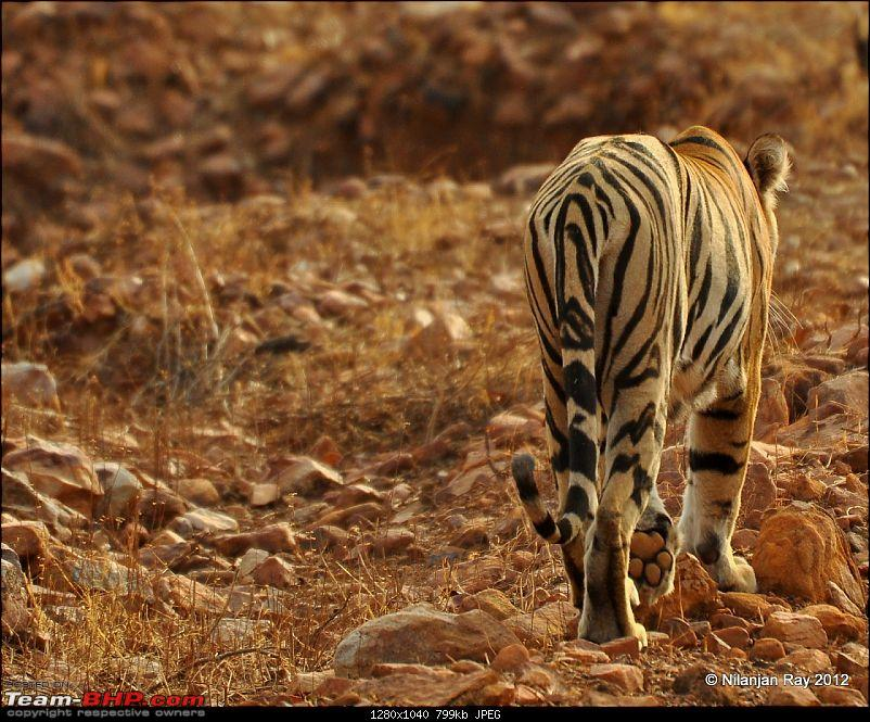 Tadoba: 14 Tigers and a Bison-dsc_5340.jpg