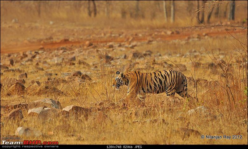 Tadoba: 14 Tigers and a Bison-dsc_5370.jpg