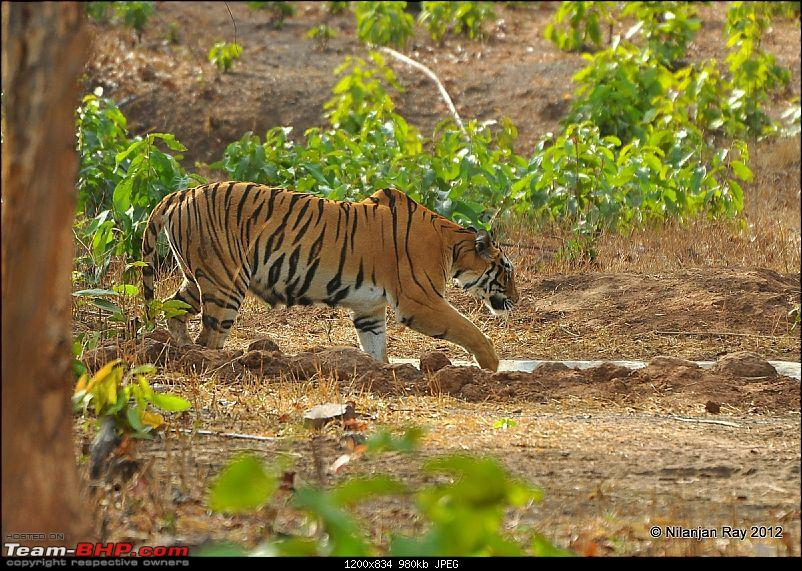 Tadoba: 14 Tigers and a Bison-dsc_5531.jpg