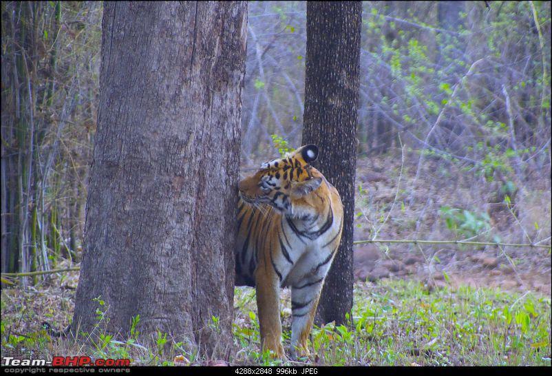 Hello Tiger – Our trip to Tadoba-tiger-1-07.jpg
