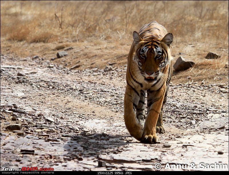 Ranthambhore National Park - Tigers and More!-img_9599.jpg