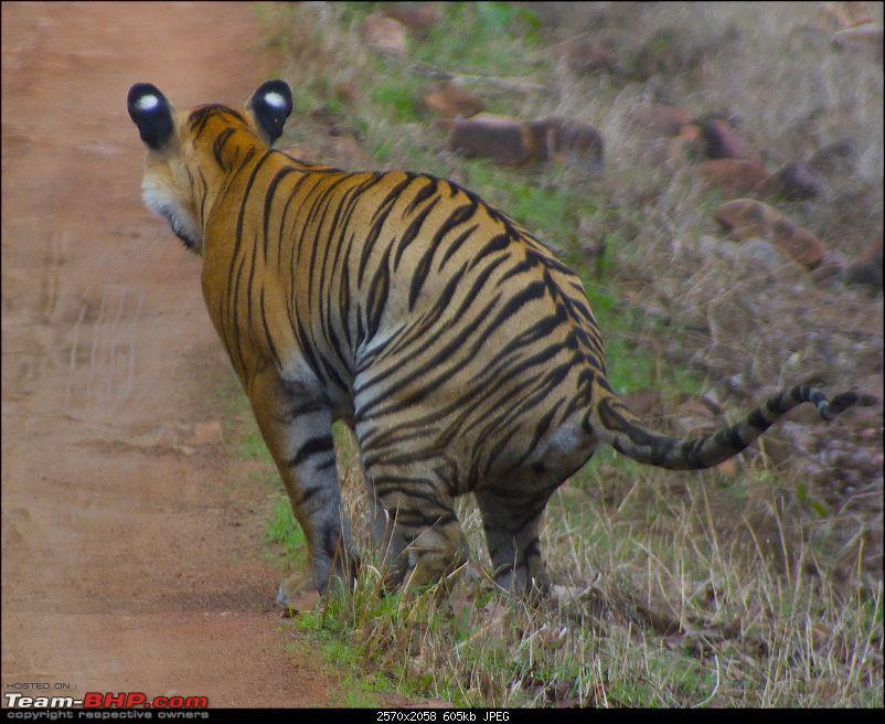 Hello Tiger � Our trip to Tadoba-tiger-1-11.jpg