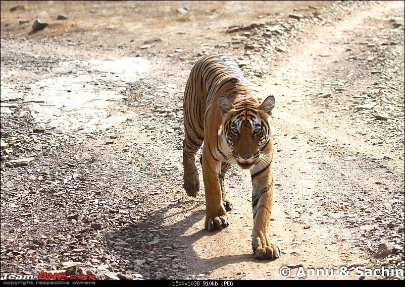 Ranthambhore National Park - Tigers and More!-img_9616.jpg