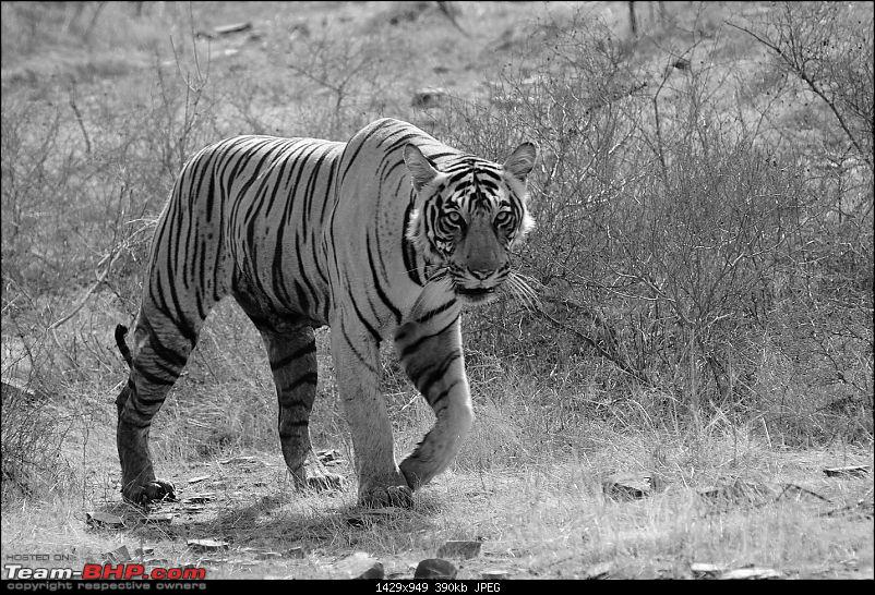 Gurgaon - Ranthambhore - Jodhpur - Gurgaon: Big Cats call again..!-7153.jpg