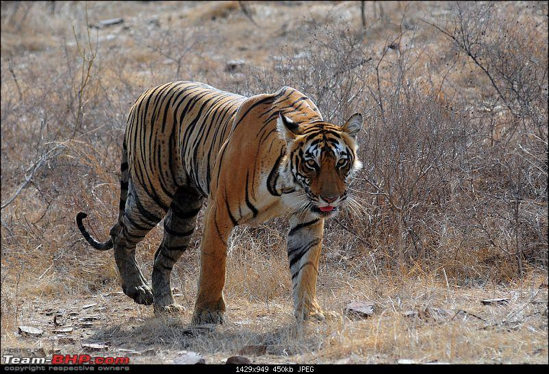Gurgaon - Ranthambhore - Jodhpur - Gurgaon: Big Cats call again..!-7155.jpg