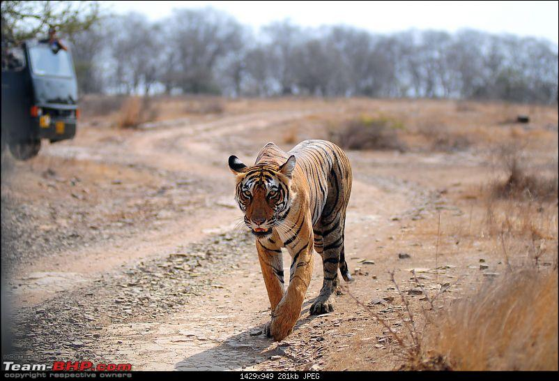 Gurgaon - Ranthambhore - Jodhpur - Gurgaon: Big Cats call again..!-7212.jpg