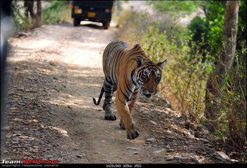 Gurgaon - Ranthambhore - Jodhpur - Gurgaon: Big Cats call again..!-7230.jpg