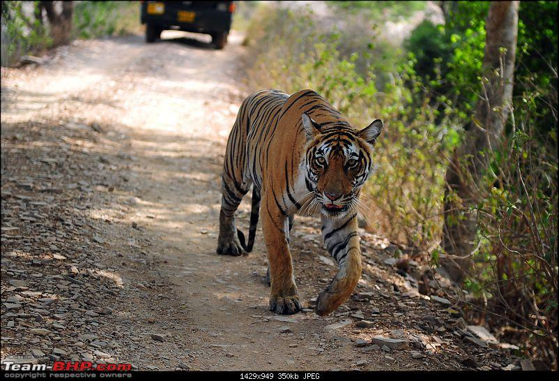 Gurgaon - Ranthambhore - Jodhpur - Gurgaon: Big Cats call again..!-7233.jpg
