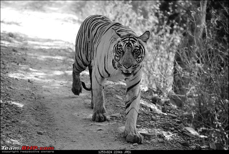 Gurgaon - Ranthambhore - Jodhpur - Gurgaon: Big Cats call again..!-7234b.jpg