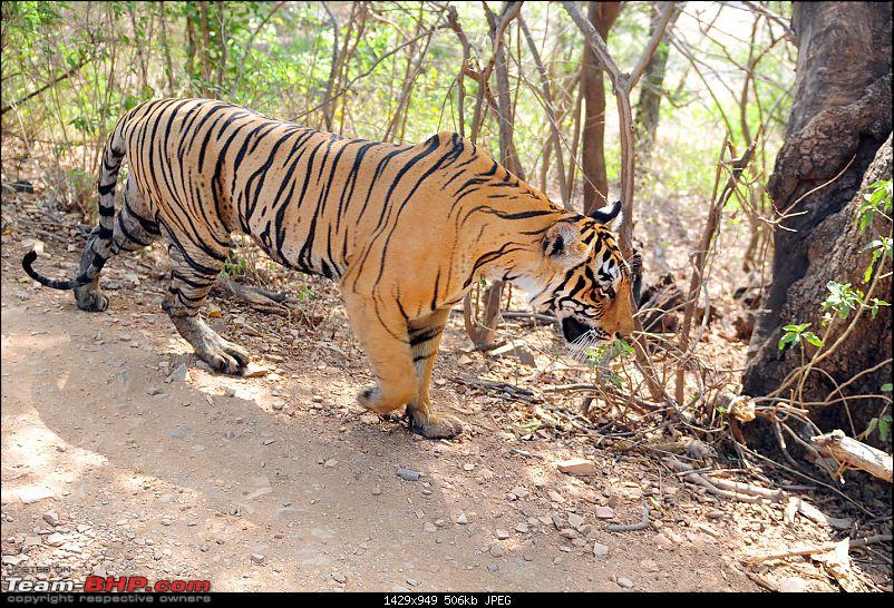 Gurgaon - Ranthambhore - Jodhpur - Gurgaon: Big Cats call again..!-7241.jpg