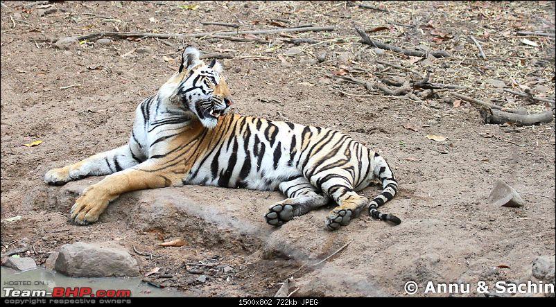 Crouching Tiger, Unaware prey - Hunt and Kill: TATR - Awesome, Incredible, Amazing!!-img_5835.jpg