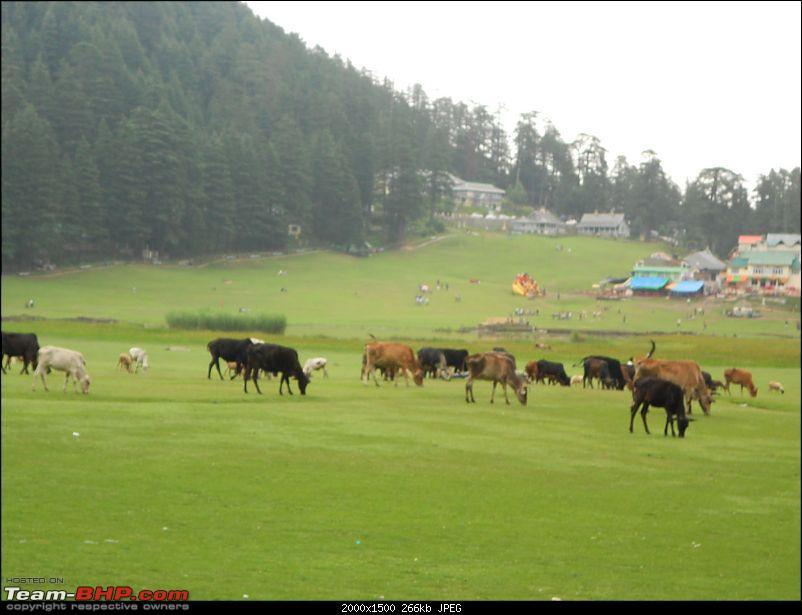 A 5 day road trip to Dalhousie/Khajjiar-cows.jpg