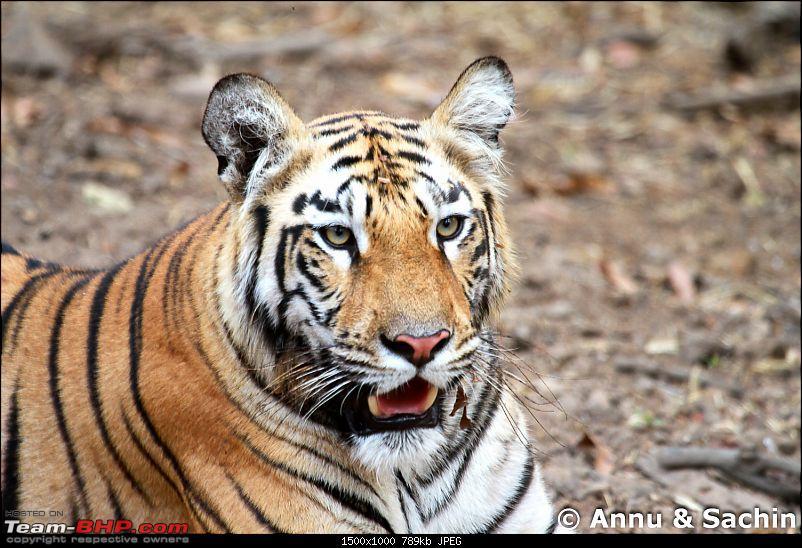 Crouching Tiger, Unaware prey - Hunt and Kill: TATR - Awesome, Incredible, Amazing!!-img_6058.jpg