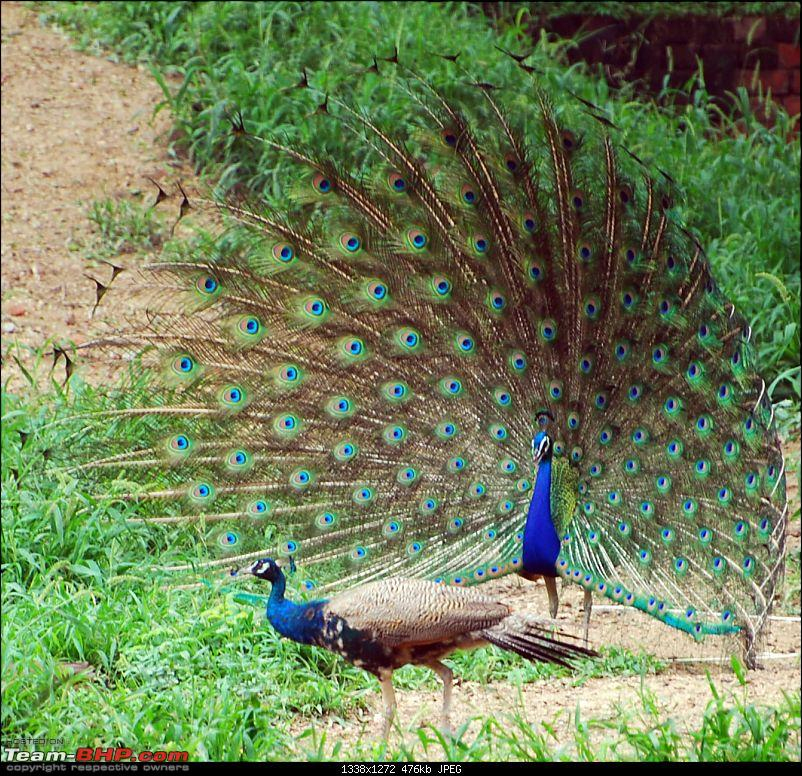 Kanha Jungle Safari- [Lucky this time]-peacockpeahen.jpg