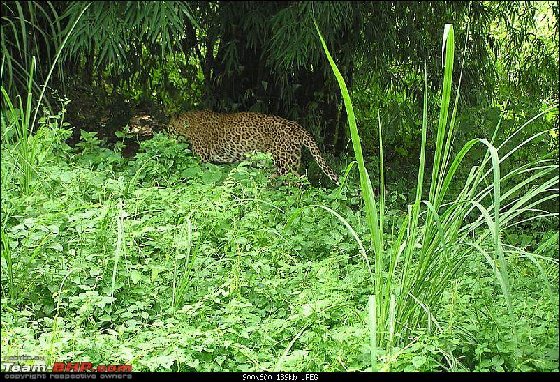 Making the most of my Sabbatical. EDIT : Thread Closed due to plagiarism.-leopards_frequent_tea_gardens_in_noth_bengal_31933.jpg